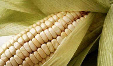 Imagen sobre un organismo genéticamente modificado