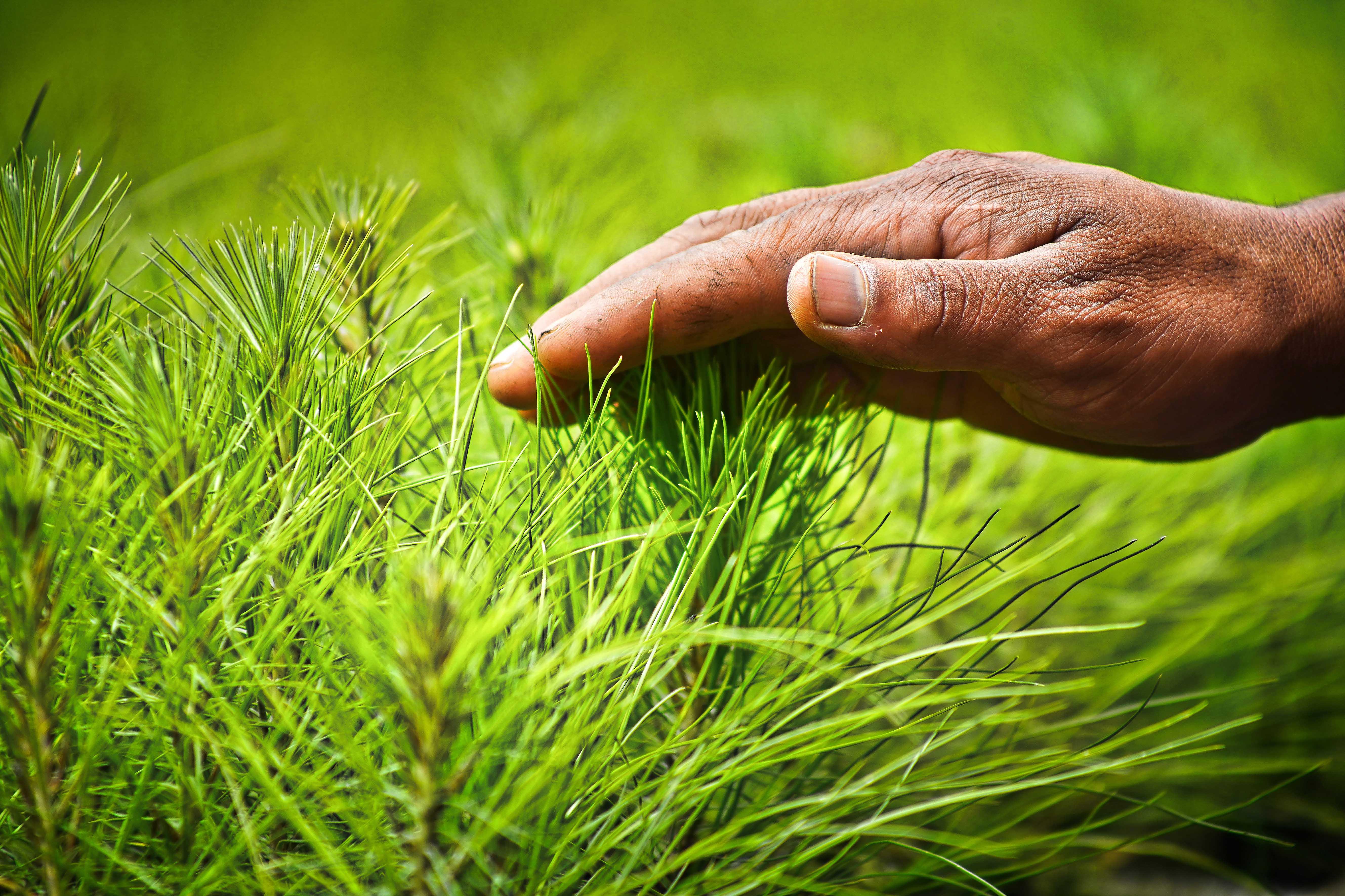 Cherán realiza una importante tarea de reforestación de sus bosques.