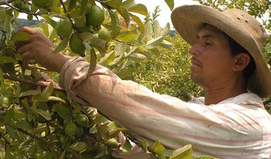 Jornalero agrícola cosecha limones