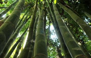 18 de septiembre, Día Mundial del Bambú