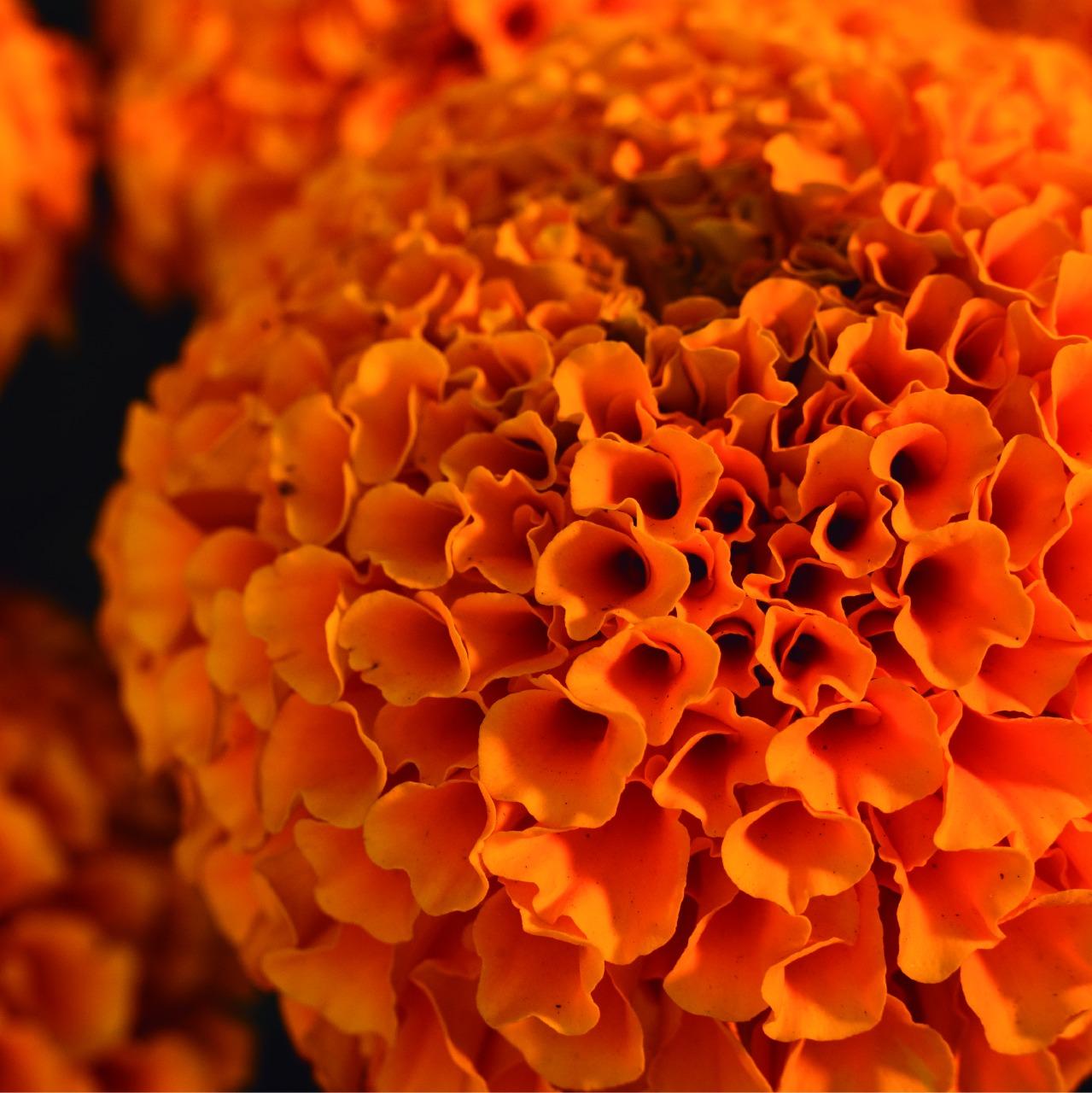 ¿Cómo se relaciona la flor de cempasúchil con la celebración  del día de muertos? sigue leyendo y descúbrelo aquí