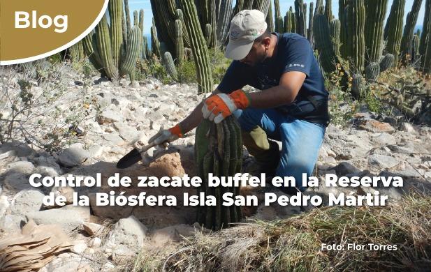 Control de zacate buffel en la Reserva de la Biósfera Isla San Pedro Mártir.
