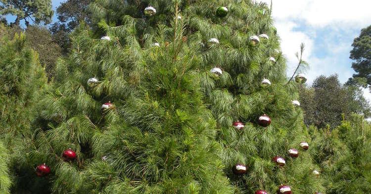 En México Se Plantan 9 Especies De árboles Que Se Usan Para Navidad