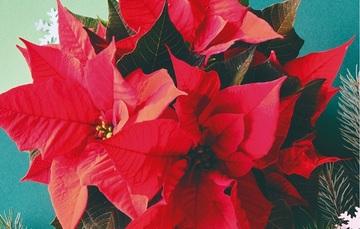 La flor que México ofreció al mundo