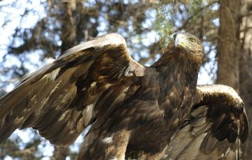 Actualmente, la Comisión Nacional de Áreas Naturales Protegidas tiene registradas 174 parejas reproductivas.