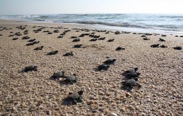 Tortugas, ballena gris, tiburón ballena, mariposa monarca, aves playeras, especies que llegan por millares a territorio nacional.