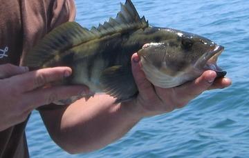 Presenta Agricultura Plan de Manejo Pesquero del pez verdillo de la península de Baja California
