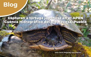 Capturan a tortuga japonesa en el APRN Cuenca Hidrográfica del Río Necaxa, Puebla.