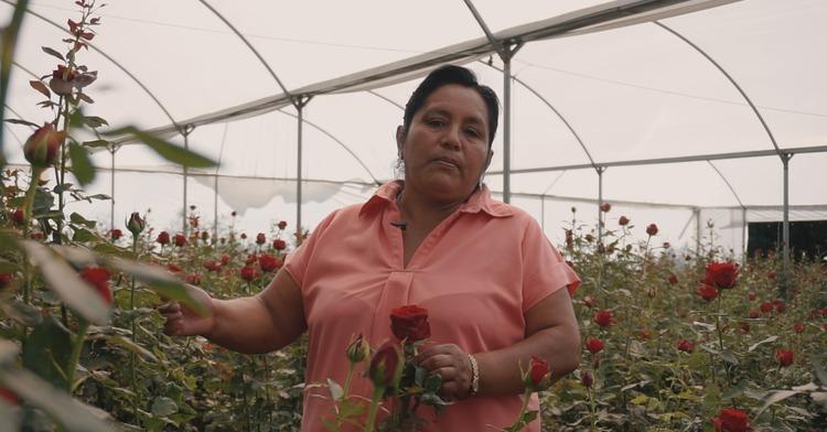 Garantizada la producción de rosas este 10 de mayo