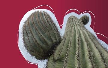 Los sahuaros son elementos clave de los ecosistemas del desierto Sonorense