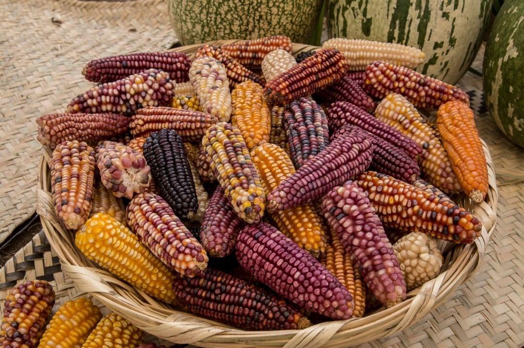 maíces criollos