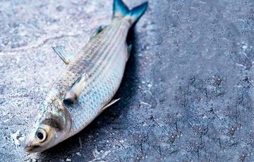 La lisa es un pescado que se produce en los estados litorales del océano Pacífico y golfo de México.