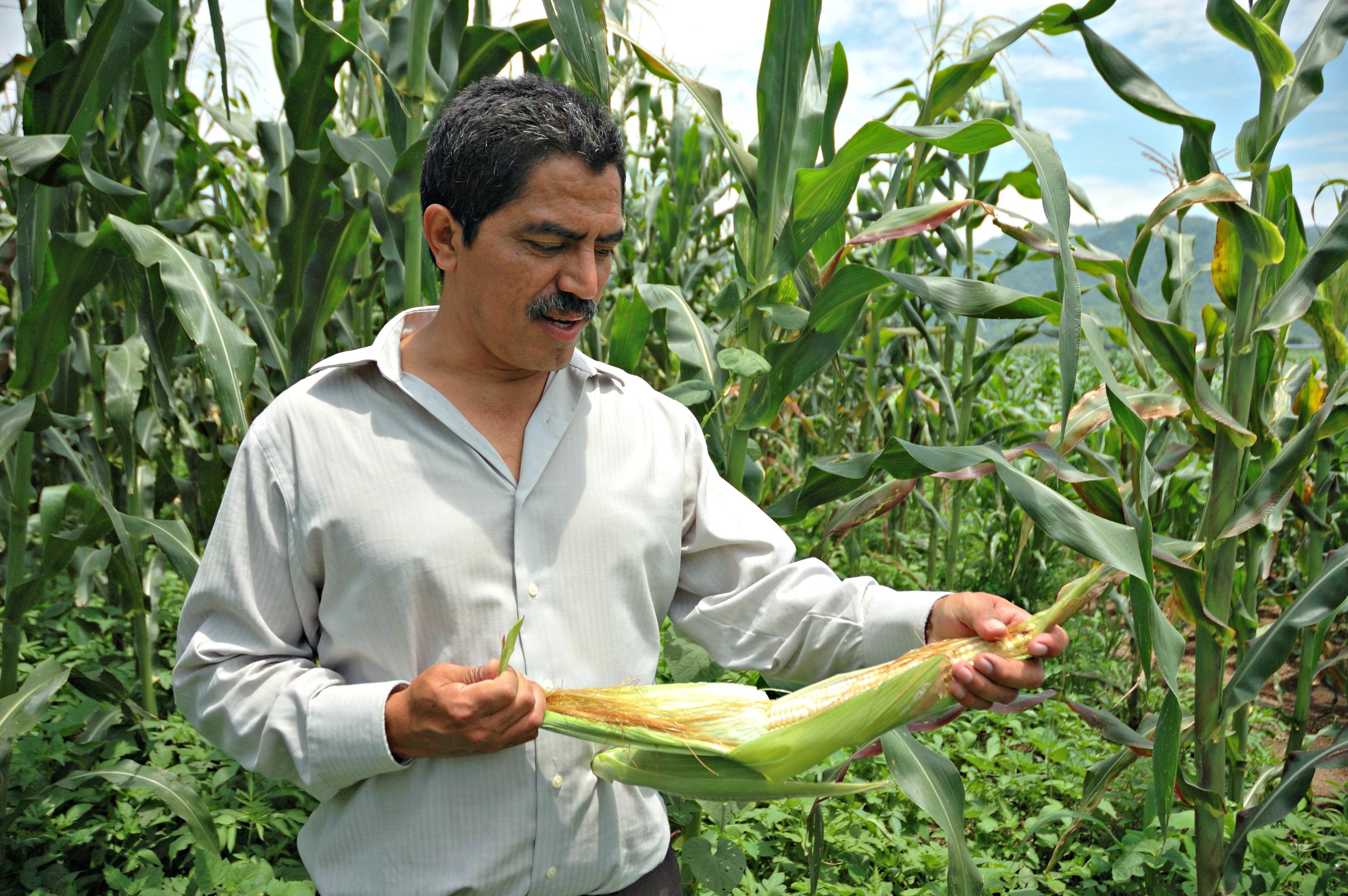 Productor con mazorca de maíz en la mano