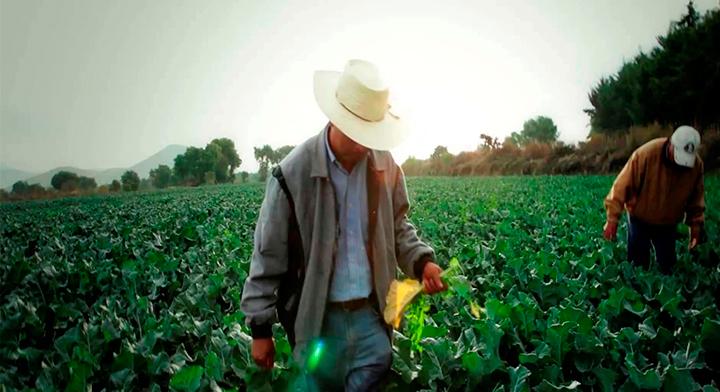 Dos trabajadores del camp cosechando su cultivo.