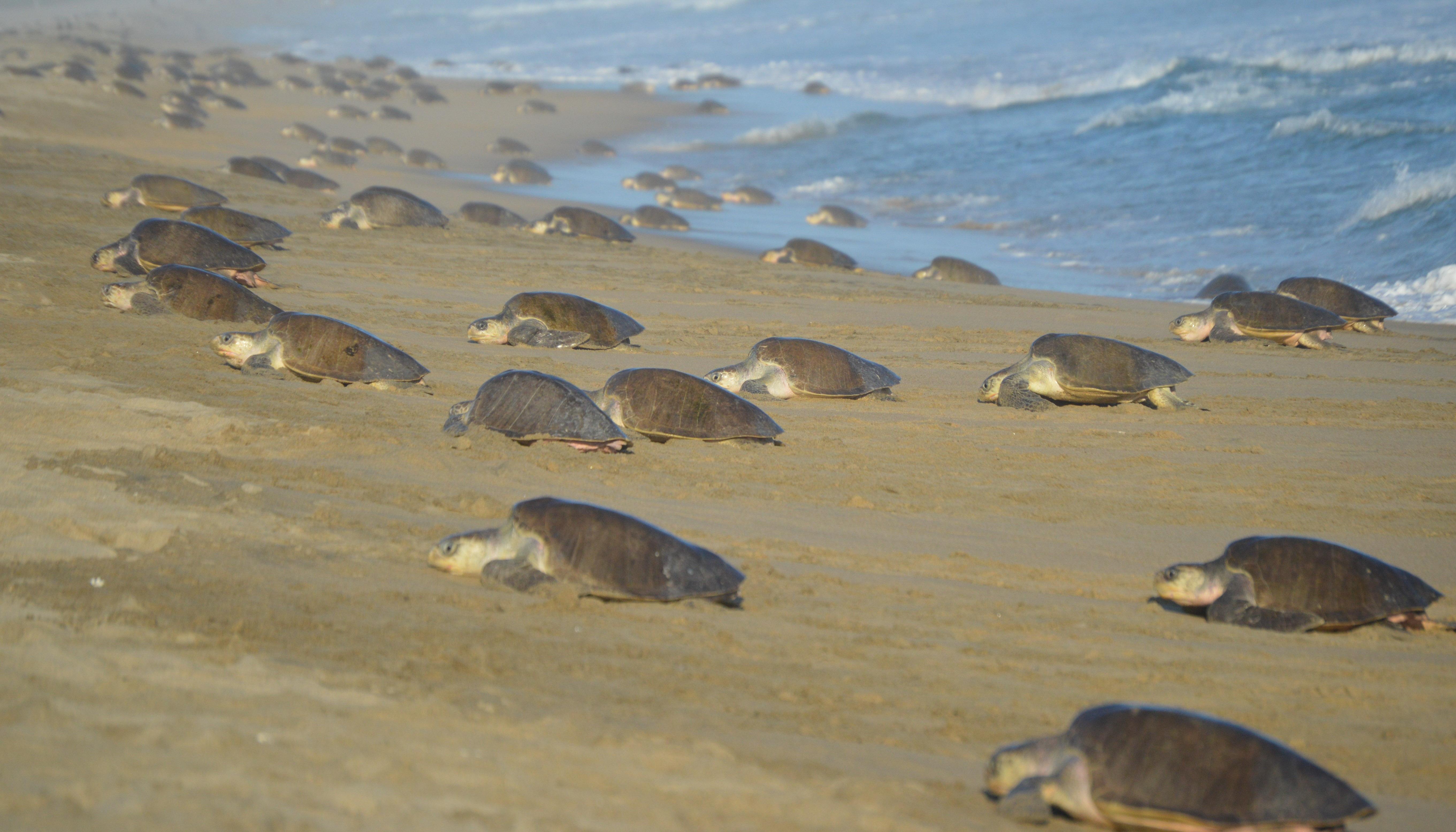 Ejemplar de tortuga marina.