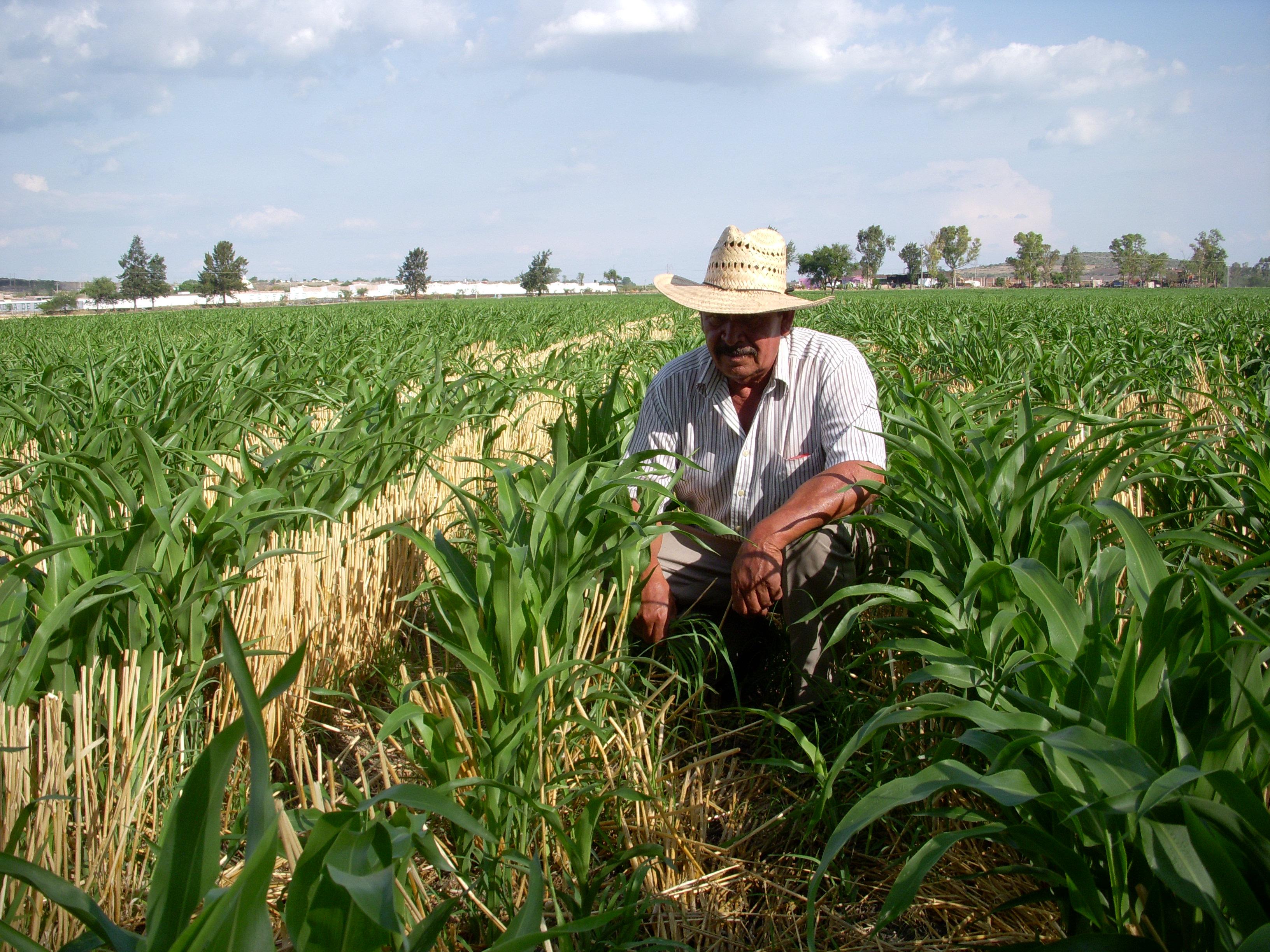 agricultor entre el cultivo