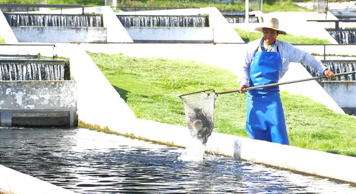 Acuicultor sacando peses de estanque