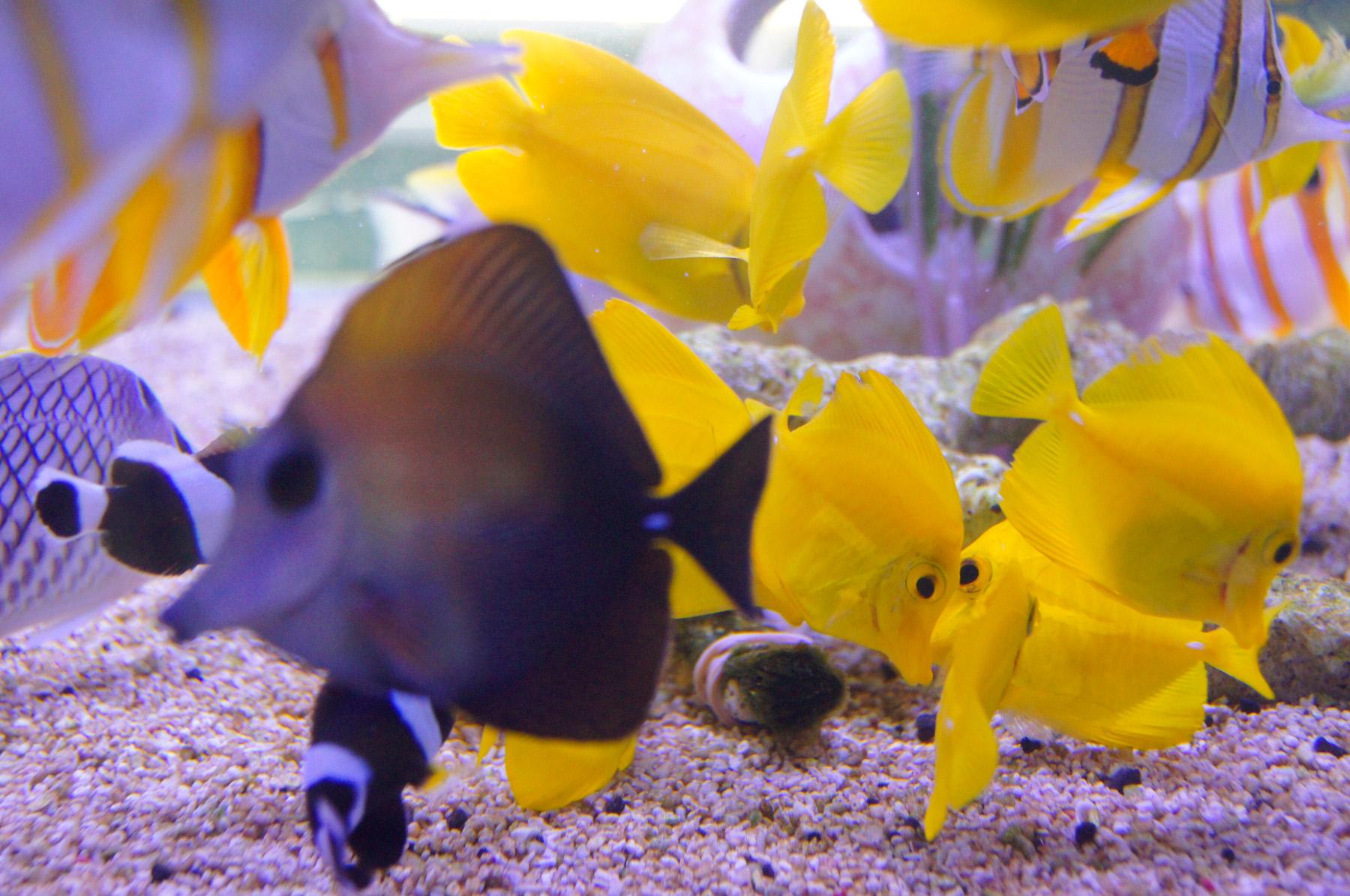 La acuariofilia un negocio con amplia proyecci n for Cria de peces ornamentales