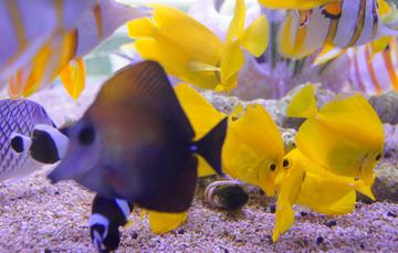 La acuariofilia un negocio con amplia proyecci n for Acuariofilia peces ornamentales