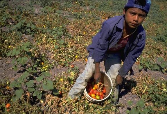 Niño recolecta verdura en campo de cultivo.