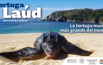 La tortuga Laúd del Pacífico Oriental es una de las más amenazadas en el mundo.