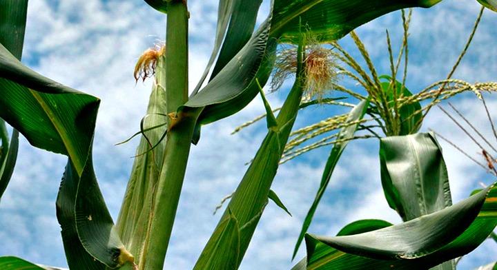 hojas de maíz