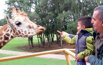 Papá cargando a su hijo en el zoologico dándole de comer una zanahoria a una jirafa.