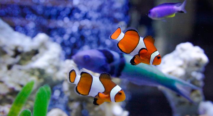 Peces de ornato bellos y recreativos secretar a de for Cria de peces ornamentales