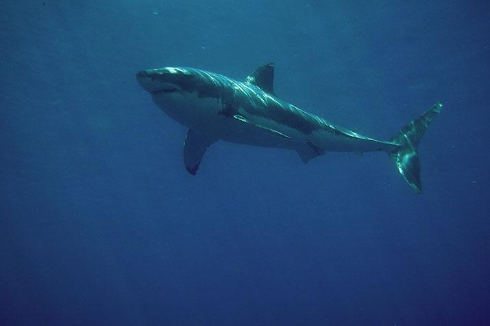 Inicia en México temporada de avistamiento del tiburón blanco.