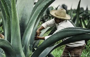 Agave | Tequila, Jalisco