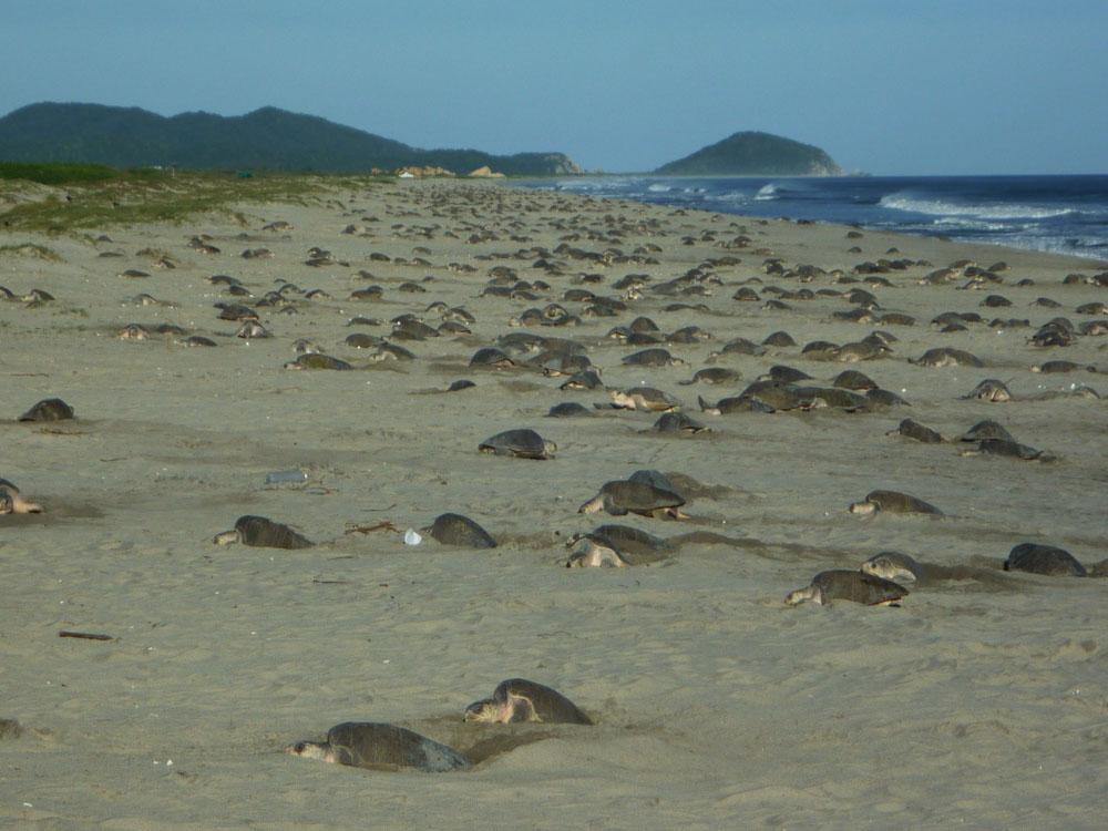 Arribada de tortugas golfinas en la playa Morro Ayutla, Oaxaca
