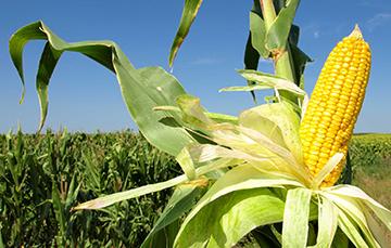 ¿Sabía usted que al maíz lo puede domesticar?