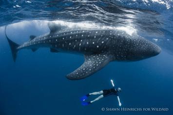 Nada con el tiburón ballena en las playas de México.