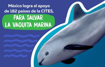 Vaquita marina, especie endémica del Alto Golfo de California.