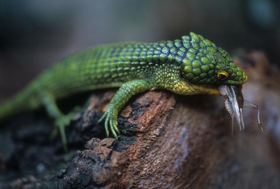 Ejemplar de Abronia. México cuenta con 19 especies endémicas.