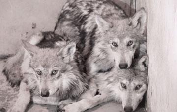 Reintroducción de lobo mexicano a la vida silvestre.