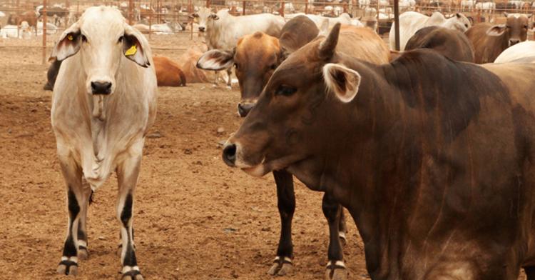Vacas en corral de zonas áridas