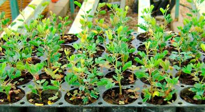 Planta de tehuixtle