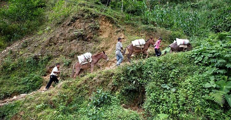 Tres productores subiendo costales de granos una pendiente en la Sierra ayudados por burros