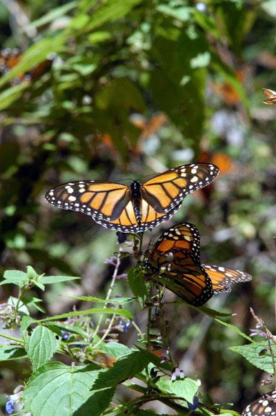 De noviembre a marzo del 2017 visita los Santuarios de la mariposa Monarca.