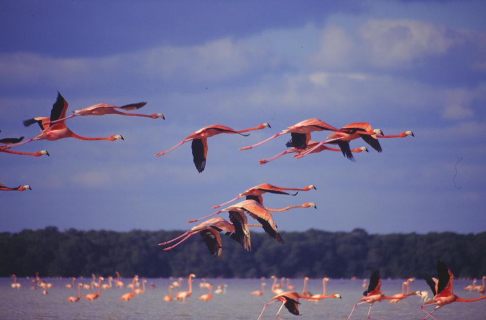 Flamingos de la Reserva de la Biosfera Ría Celestún, Yucatán.