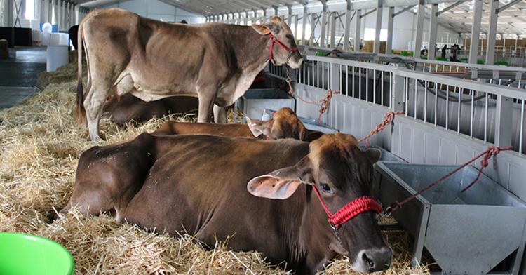 Ganado bovino llegando a la México Alimentaria