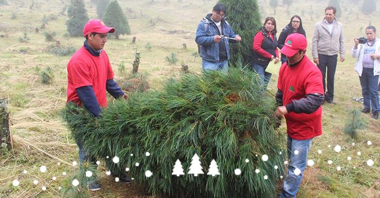 Adquiere un árbol natural mexicano para esta Navidad.