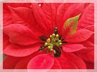 Sabías Que La Flor De Nochebuena En Latín Significa La Más