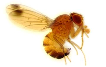 Plaga originaria de Asia,  su importancia se debe a que causa daño a frutos de pulpa suave