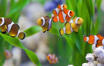 Acuacultura ornamental actividad con gran potencial for Acuariofilia peces ornamentales