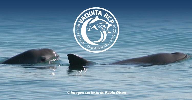 El cetáceo más pequeño del mundo habita únicamente en los mares del Alto Golfo de California.