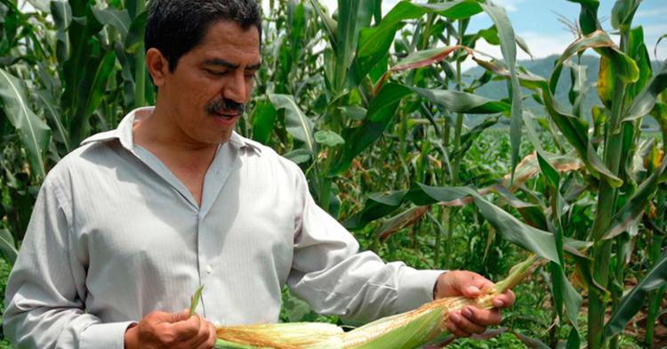 Productor de maíz