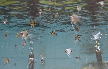Impulsan en jalisco producci n y manejo de especies de for Granja de peces ornamentales