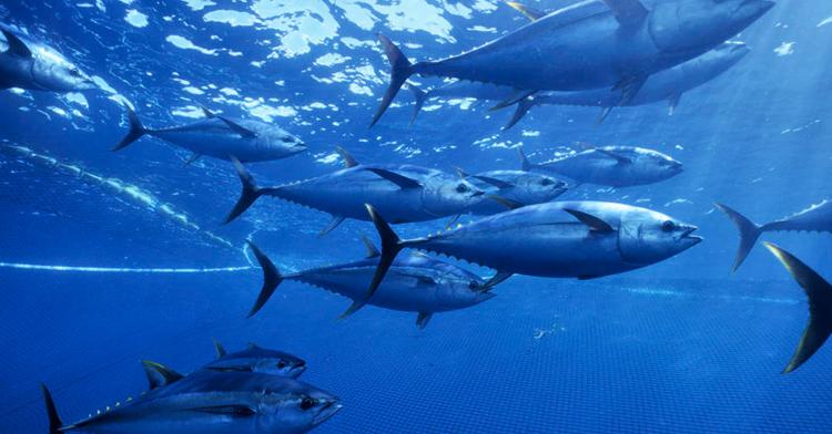 La pesquería del atún en México, un producto al alcance de los mexicanos, genera 12 mil empleos directos y más de 60 mil indirectos.